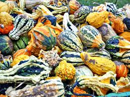 Fertilizer For Pumpkins Uk by Growing A Variety Of Ornamental Gourds