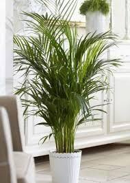 palmen grundlagen der palmenpflege