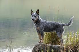 Small Non Shedding Dogs Australia by Australian Cattle Dog