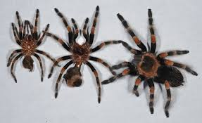 Do Tarantulas Shed Their Legs by Uncategorized Things Biological Page 16
