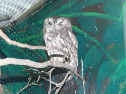 The Online Zoo - Eastern Screech Owl White Screech Owl Illustration Lachina Bbc Two Autumnwatch Sleepy Barn Owl Yoga Bird Feeder Feast And Barn Wikipedia Attractions In Cornwall Sanctuary Wishart Studios Red Eastern By Ryangallagherart On Deviantart Owlingcom Biology Birding Buddies 2000 Best 2 Especially Images Pinterest Screeching Youtube