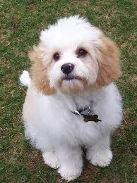 Do Jackie Bichon Shed by Cavachon Information Pictures Reviews And Q U0026a Greatdogsite Com