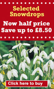 world s highest price paid for snowdrop bulb thompson