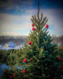 Types Of Live Christmas Trees by Maine Christmas Tree Association Maine Christmas Trees And
