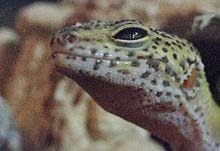 Do Leopard Geckos Shed by Leopard Gecko Characteristic
