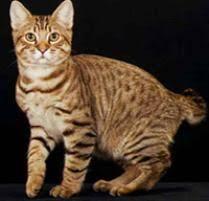bobtail cat american bobtail cat cat breeds petfinder