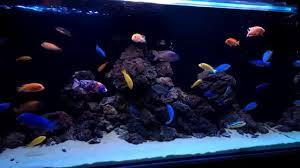 малавийские цихлиды cichlids tank malawi aquarium lava rock
