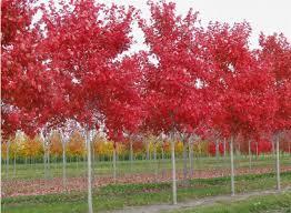 Plantable Christmas Trees For Sale by Sloan Nursery U0026 Christmas Trees