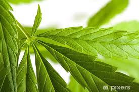 aufkleber cannabis pflanze marihuana auf weißem hintergrund