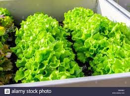 Growing Lettuce In Raised Gardening Beds Made Of Recycled Pallet Collars