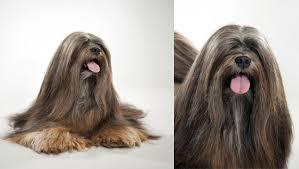 lhasa apso puppy shedding lhasa apso breed selector animal planet