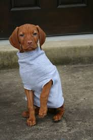 Do Hungarian Wirehaired Vizslas Shed by Best 25 Vizsla Dog Ideas On Pinterest Vizsla Puppies Vizsla