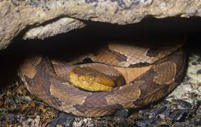 The Venomous Snakes Of Tennessee Backyard Snakes Effective Wildlife Solutions Snakes And Beyond 65 Best Know Them Images On Pinterest Georgia Of Louisiana Department Fisheries Southern Hognose Snake Florida Texas Archives What Is That 46 The States Slithery Species Nolacom Scarlet Kingsnake Cottonmouth Eastern Living Alongside Idenfication Challenge The Garden Or Garter My Species List New Engdatlantic