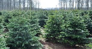 Nordmann Fir Christmas Tree Seedlings by Nordman Fir Abies Nordmaniana