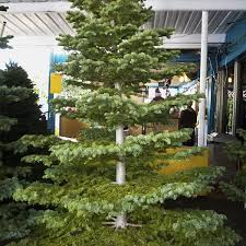 Silvertip Fir Christmas Tree by Shawn Christmas Trees Lots Los Angeles Ca