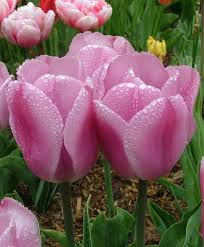 91 best tulips images on beautiful flowers pretty