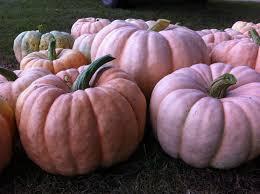 Pumpkin Patch Near Greenville Nc by Gallery Pink Pumpkin Patch Foundation