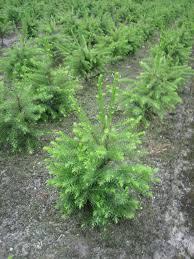 Fraser Fir Christmas Trees Kent by Blue Spruce And Korean Fir Christmas Trees Needlefresh Uk