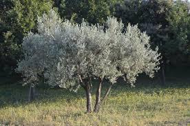 olivier plante d extérieur gamm vert