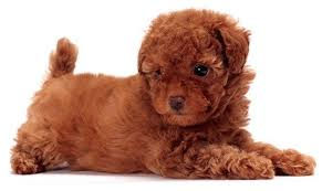 Best Non Shedding Hypoallergenic Dogs by Top 30 Dogs That Don U0027t Shed Small Medium And Large Breeds Pet