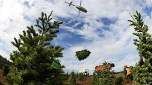 Nordmann Fir Christmas Tree by Helicopter Harvest Spreads Cheer Aopa