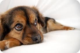 non shedding hypoallergenic hybrid dogs non shedding small dogs mixed breeds pet photos gallery