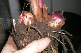 wintering canna bulbs how to store canna bulbs