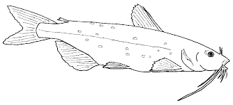 Channel Catfish Kids Stuff Coloring Page