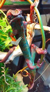 1985 Best AMAZING LIZARDS! Images On Pinterest | Chameleons ... Roadsendnaturalist Roads End Naturalist Raptormaniacs San Diego Zoo Part I Reptile Mesa Lovely Plantings My Adventures In Gardening Big White Throat Monitor Lizard Reptilians Do It Best 1985 Best Amazing Lizards Images On Pinterest Chameleons Lorde Archives The Key Digital Wallpaper Beautiful Ldon V House Pet Updates Chris And Ash Discussions Of Exotic Species Music Concerts Life Dead Milkmen Laurel Hill July 2010