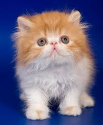 tea cup cat the small cat breeds of the world