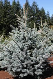 Silvertip Fir Christmas Tree by Forever Green Christmas Tree Farm