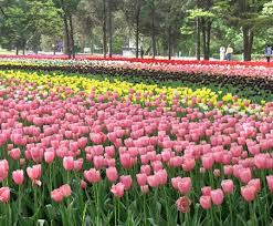 tulip flower a guide to buying bulk tulip bulbs
