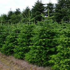 Nordmann Fir Christmas Tree Seedlings by Real Christmas Trees From Double D U0027s Tree Service Ogden Ut
