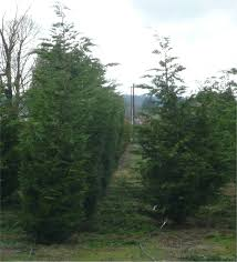 Leyland Cypress Christmas Tree by Leyland Cypress Trees Available In Washington State We Deliver And