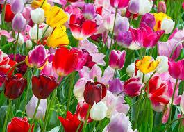 about us farmer gracy wholesale flower bulbs