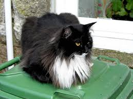 haired cats haired black and white cat in st ives cornwall flickr