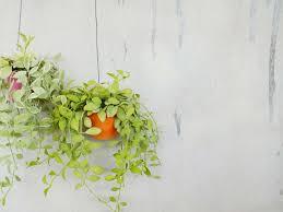 hängepflanzen fürs zimmer unsere top 10 plantura