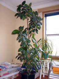 Grow Lamps For House Plants by Tall Indoor Plants Potted Yucca Plants U2013 How To Care For A