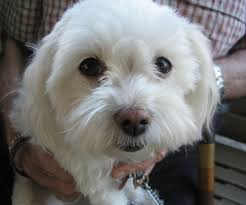 Small White Non Shedding Dog Breeds by Small White Dog Breeds Pets Dog Breeds Puppies Five Cute Names