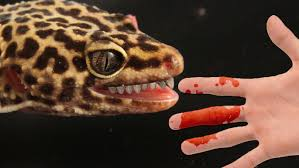 Crested Gecko Shedding Behavior by How To Stop Your Leopard Gecko Biting You Youtube