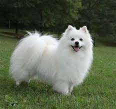 american eskimo dog absolutely charming and tons of hair during