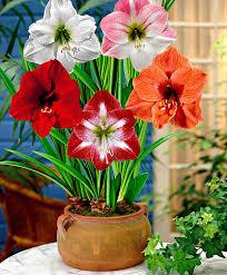 buy amaryllis mix flower bulb from bakker