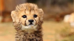 Karoo Lodge Rescues Baby Cheetah At Samara Game Reserve