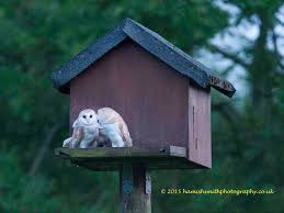 Bath & West Wiltshire Group - Hawk And Owl Trust Common Barnowl Tyto Alba Two Juvenile Common Barn Owls At The Pramo Clothing Owling In Owls Glenn County Resource Cservation District Barn Owl Nest Box Nhbs Wildlife Shop Gardening For Birds All About Nesting Logs And Boxes Hecker Nursery Triangular Girl Scout Gold Award Benefits Birds Burroughs Audubon Society Boxes Hungry Project Bbook Mount Gravatt Environment Group Wiggly Wigglers Duhallow Raptor Plans Vip