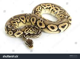 Ball Python Shedding Signs by Pewter Ball Python Python Regius On Stock Photo 20762230