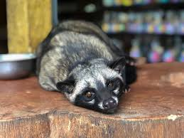 Kopi Luwak Or Civet Coffee Is The Worlds Most Expensive A Regular Cup Of Can Cost Anywhere Between 35 100 What Makes It Speciality