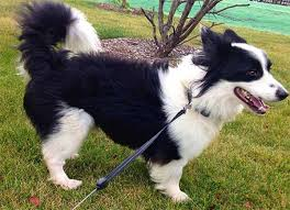 Do Blue Heeler Border Collies Shed by 100 Blue Heeler Border Collie Shedding Is The Border Collie