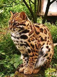 mountain cat himalayan mountain cat picture of himalayan zoological park