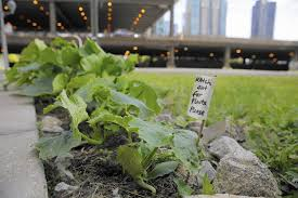 East Orlando Pumpkin Patch by The Unlikeliest Pumpkin Patch In Chicago Chicago Tribune