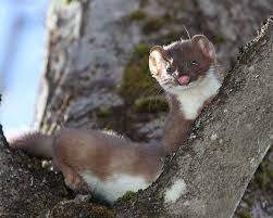 long tailed weasels completing their spring molt naturally